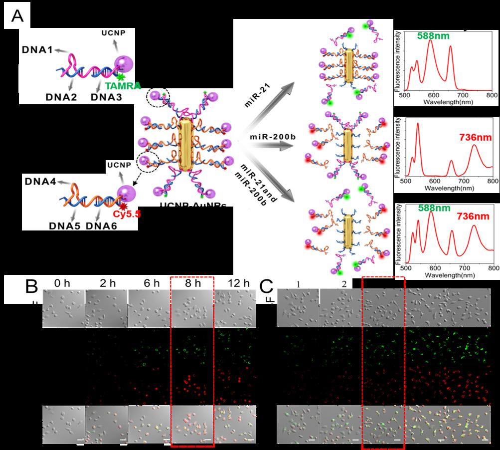 我校食品学院博士生在《PNAS》上发表实现细胞内和活体中两种miRNA同时检测新成果